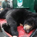 Os ursos negros correram risco de extinção em New Jersey na década de 60, mas os animais se recuperaram rapidamente na região noroeste do estado