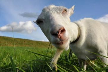 Descubra a cabra