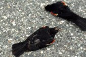 Foto19 Red winged blackbirds 170x113 Home page