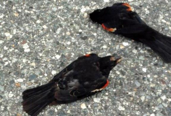 Morte de pássaros é mistério para especialistas em NJ