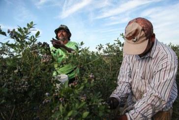 Crise na imigração afeta colheita de mirtilo