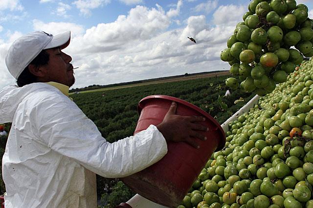 Foto32 Colhedor de tomates Era Trump: Agricultores temem falta de mão de obra