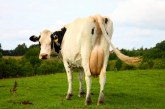 Flatulência bovina