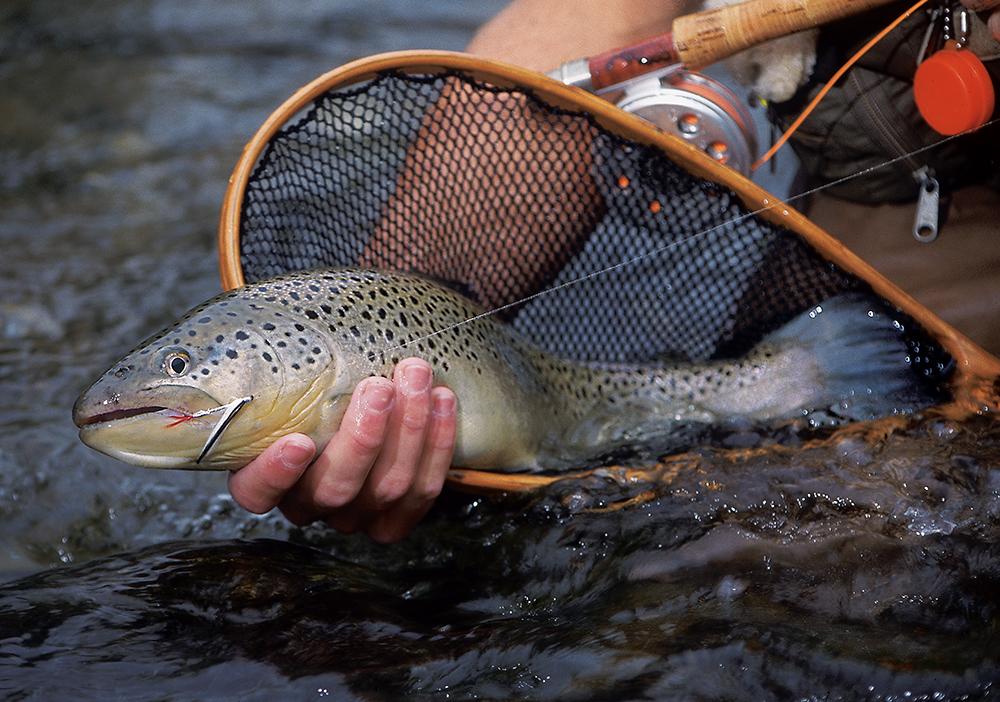 Foto19 Truta 20 mil trutas serão soltas em lagos e rios