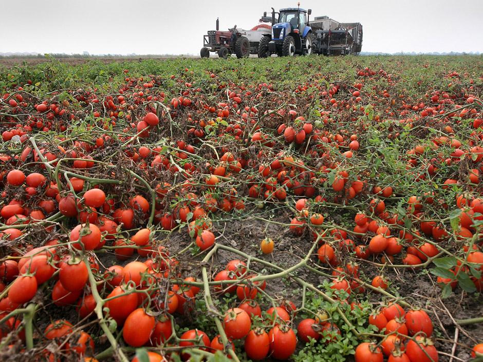 Foto26 Producao estragada Colheitas apodrecem nos campos após mudança migratória na Inglaterra