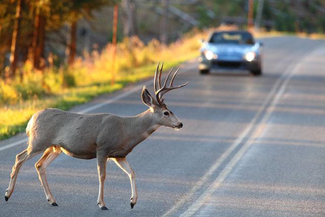 Foto10 Cervo cruzando a estrada Outono aumenta o índice de acidentes envolvendo veados