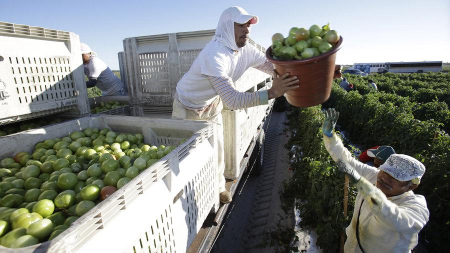 Foto25 Boias frias  Auditoria migratória na agricultura prejudica colheitas na CA