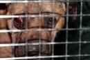 """Dono de """"cães de briga"""" pega 2 anos de prisão em NJ"""