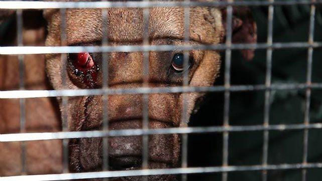"""Foto7 Crueldade animal Dono de """"cães de briga"""" pega 2 anos de prisão em NJ"""
