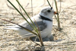 Foto12 Piping plover 266x179 Home page