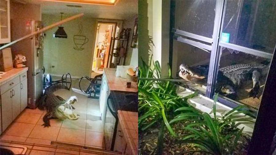 Foto17 Jacare na Florida Jacaré invade residência de idosa na Flórida