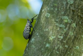 Foto15 Spotted lanternfly 266x179 Home page