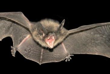 Os morcegos de Coimbra